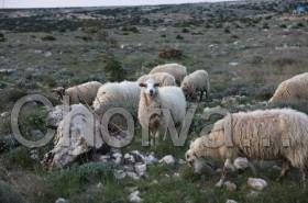 Ovečky na Pagu
