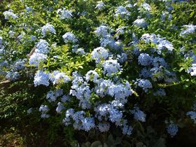 I zahrada kvete modře
