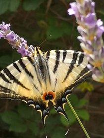 Sběr motýlů