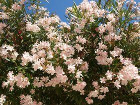 Květy oleandru