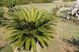 Krásný cykas v zahradě