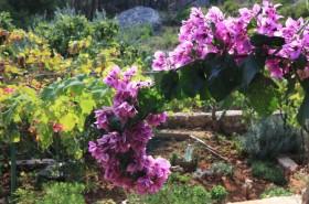 Bugenvila v zahradě