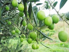 V zahradě rostou olivy